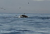 Humpback whales, Monterey CA (46)