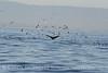 Humpback whales, Monterey CA (51)
