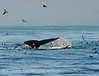 Humpback whales, Monterey CA (30)