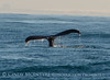 Humpback whales, Monterey CA (3)