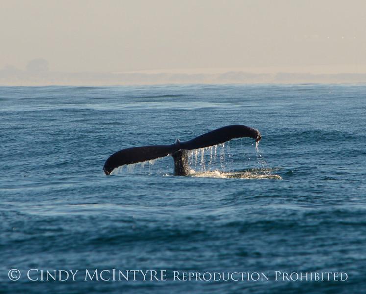 Humpback whales, Monterey CA (1)
