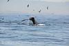 Humpback whales, Monterey CA (76)