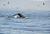 Humpback whales, Monterey CA (74)