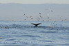 Humpback whales, Monterey CA (57)