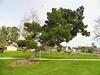 The Walter Knott Tree