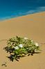 Dune Primrose flowers in the Imperial Sand Dunes, Algondones Dunes near Brawley, California, USA.