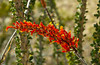 Closeup of the Ocotillo blossom near Brawley, California, USA.