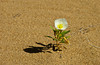 A lone Dune Primrose in the Imperial Sand Dunes, Algondones Dunes near Brawley, California, USA.