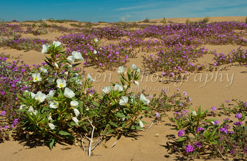 Sand Verbena and Dune Primrose in the Imperial Sand Dunes, Algondones Dunes near Brawley, California, USA.