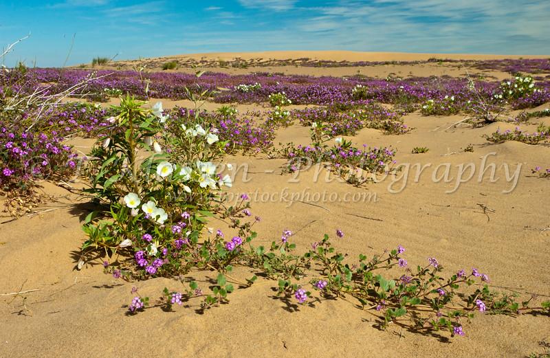 Sand Verbena and Dune Primrose in the Imperial Sand Dunes, Algondones Dunes near Brawley, California, USA.