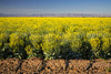 A yellow canola field in bloom in the Imperial Valley of California, USA.