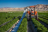 Harvesting a winter crop of red peppers in the Imperial Valley of California, USA.