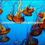 Monterey Aquarium  Seanettles