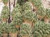 49 Palms Oasis trail, Joshua Tree NP CA (8)