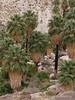 49 Palms Oasis trail, Joshua Tree NP CA (13)