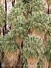 49 Palms Oasis trail, Joshua Tree NP CA (9)