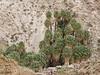 49 Palms Oasis trail, Joshua Tree NP CA (6)