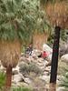 49 Palms Oasis trail, Joshua Tree NP CA (11)