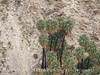49 Palms Oasis trail, Joshua Tree NP CA (4)