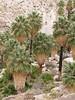 49 Palms Oasis trail, Joshua Tree NP CA (12)