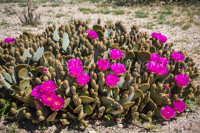 The beavertail cactus blooming in Joshua Tree National Park, California, USA