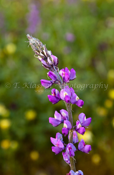 Closeup of the lupine flower in Joshua Tree National Park, California, USA.