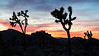 Joshua trees silhouette and sunset  in Joshua Tree National Park, California, USA.
