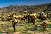 Cholla cactus garden in Joshua Tree National Park, California, USA.