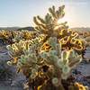 Late Evening at Cholla Cactus Garden