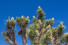 Joshua trees blooming in Joshua Tree National Park, California, USA