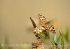 Painted Lady,  Vanessa cardui, S Calif(1)