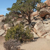 Pine Tree in the Rocks