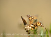 Painted Lady,  Vanessa cardui, S Calif(2)