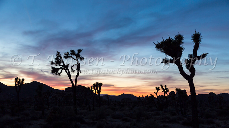 Joshua trees silhouette and sunset  in Joshua Tree National Park, California, USA.