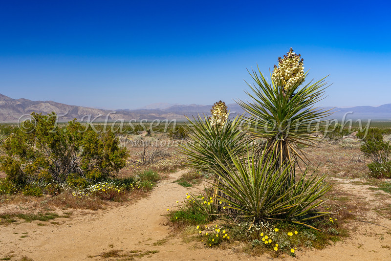 Yucca tree blooming in Joshua Tree National Park, California, USA.