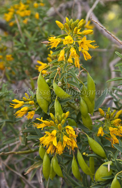 Wildflowers in Joshua Tree National Park, California, USA.
