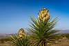 Yucca tree blooming in Joshua Tree National Park, California, USA.
