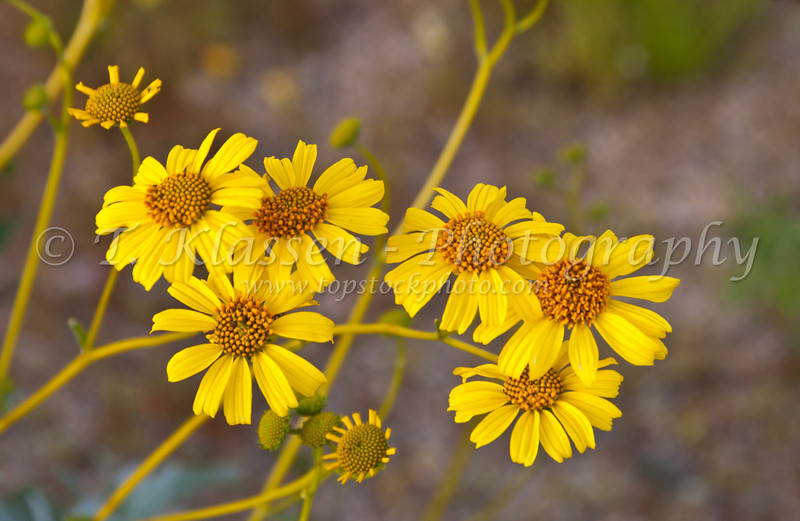Closeup of the Brittle bush flower in Joshua Tree National Park, California, USA.
