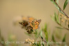 Painted Lady,  Vanessa cardui, S Calif(3)