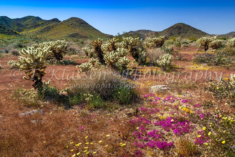 Cholla cactus garden in Joshua Tree National Park, California, USA.