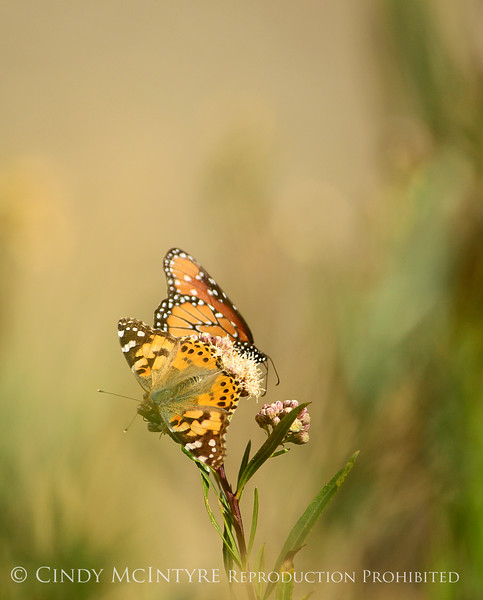 Painted Lady and Queen Danaus gilippus, S Calif