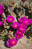 The beavertail cactus blooming in Joshua Tree National Park, California, USA