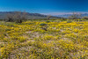 Spring desert wildflowers blooming in Joshua Tree National Park, California, USA