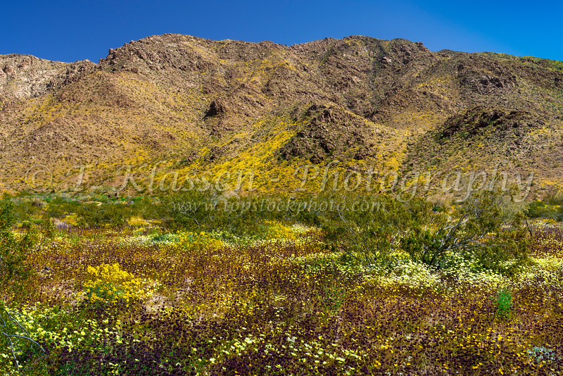 Spring wildflowers blooming in Joshua Tree National Park, California, USA.