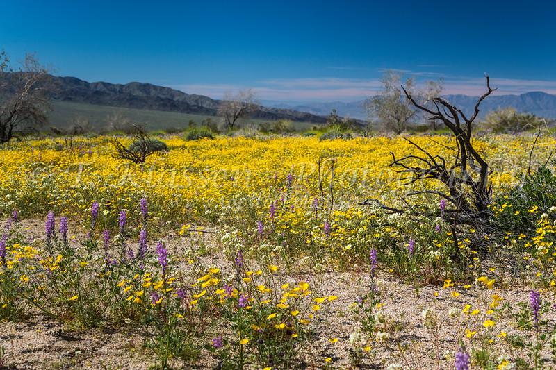 Spring desert wildflowers blooming in Joshua Tree National Park, California, USA