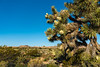Joshua Trees blooming in Joshua Tree National Park, California, USA.