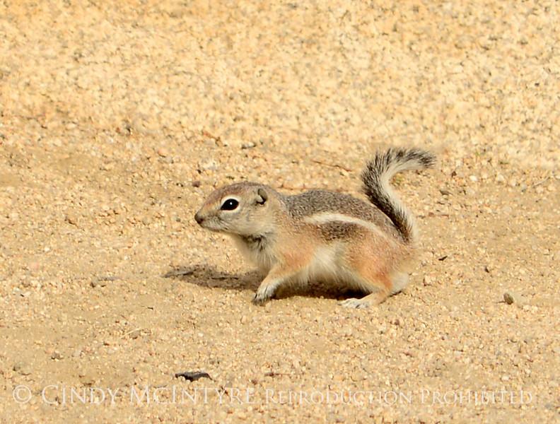 Antelope squirrel, Joshua Tree NP
