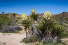 Large white yucca blossoms in Joshua Tree National Park, California, USA.