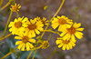 Closeup of the Brittle bush flower in Joshua Tree National Park, California, USA.
