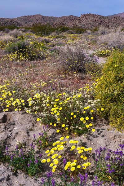 Spring wildflowers blooming in Joshua Tree National Park, California, USA.